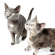 Two funny grey kittens isolated on white background. European short hair. Studio shot. — Stock Photo #11324767