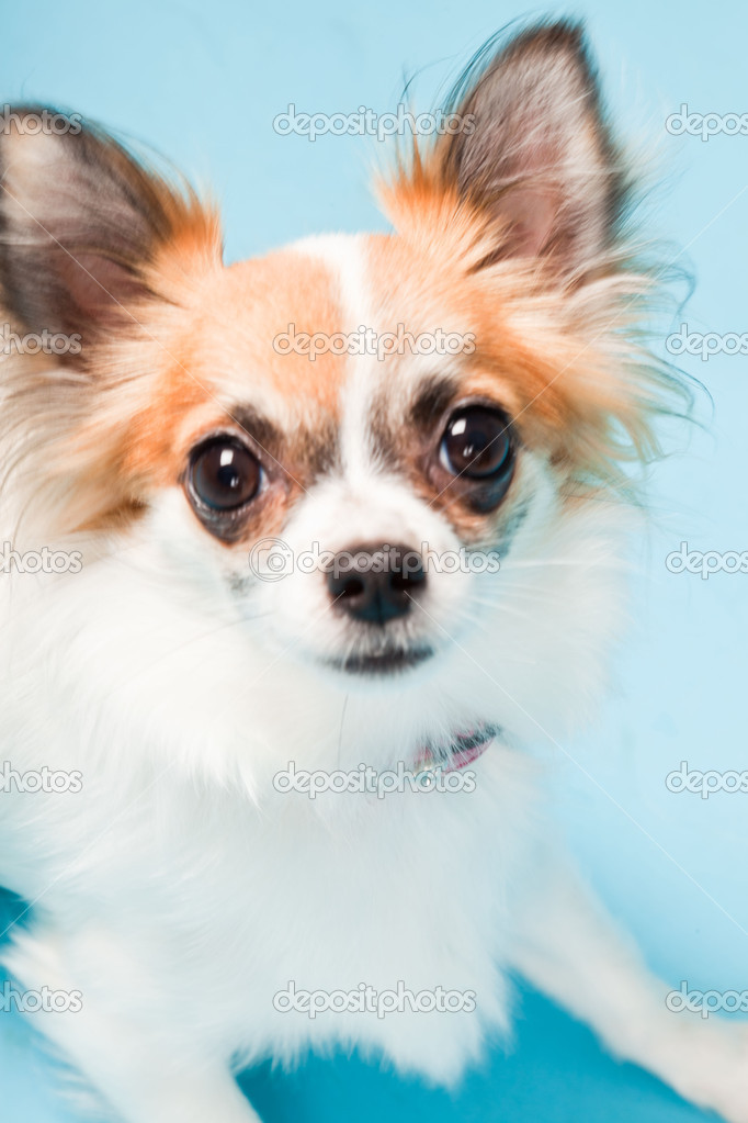 Chihuahua Light Brown And White Cute white brown chihuahua Black And White Short Hair Chihuahua