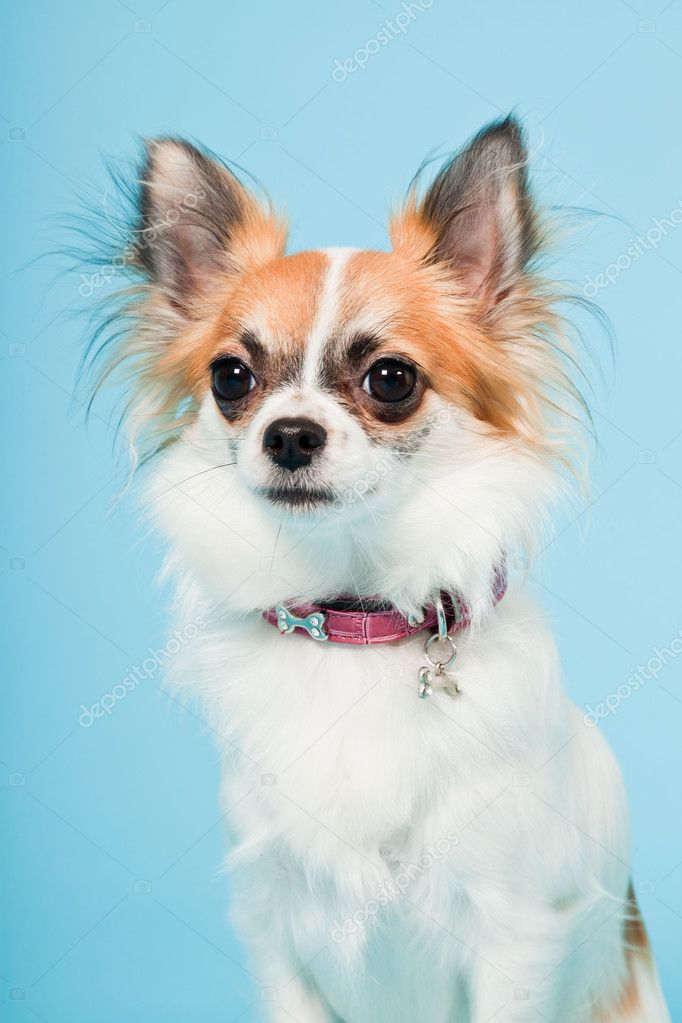 Studio portrait of cute white brown chihuahua isolated on light blue background. — Stock Photo #11324648