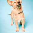 Studio portrait of little brown mixed bred dog with dark brown eyes isolated on light blue background — Stock Photo