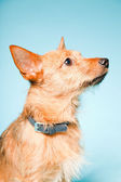 Studio portrait of little brown mixed bred dog with dark brown eyes isolated on light blue background — Stok fotoğraf