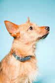 Studio portret van weinig brown gemengd gefokt hond met donkere bruine ogen geïsoleerd op lichte blauwe achtergrond — Stockfoto