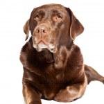 Old brown labrador dog isolated on white background. Studio shot. — Stock Photo #11637841