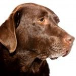 Old brown labrador dog isolated on white background. Studio shot. — Stock Photo #11637845