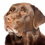 Old brown labrador dog isolated on white background. Studio shot. — Stock Photo #11637846