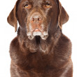 Old brown labrador dog isolated on white background. Studio shot. — Stock Photo #11637853