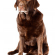 Old brown labrador dog isolated on white background. Studio shot. — Stock Photo #11637857