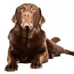 Old brown labrador dog isolated on white background. Studio shot. — Stock Photo #11637859