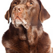 Old brown labrador dog isolated on white background. Studio shot. - Stock Photo