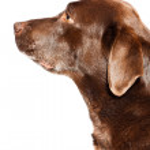 Old brown labrador dog isolated on white background. Studio shot. — Stock Photo #11637866
