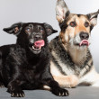 Two dogs together. Black mixed breed dog and german shepherd. Studio shot isolated on grey background. — Stock Photo #11902357