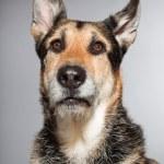 Cute old german shepherd dog. Studio shot isolated on grey background. — Stock Photo #11902395