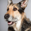 Cute old german shepherd dog. Studio shot isolated on grey background. — Stock Photo