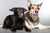Two dogs together. Black mixed breed dog and german shepherd. Studio shot isolated on grey background. — Stock Photo