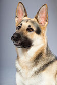 Beautiful german shepherd dog isolated on grey background. Studio shot. Grey and brown colored. — Stock Photo
