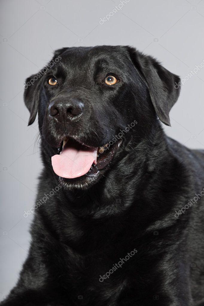 Black labrador retriever dog with light brown eyes ...