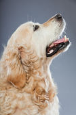 Old golden retriever dog isolated on grey background. Studio shot. — Stok fotoğraf