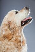 Stary pies pies na białym tle na szarym tle. łapka. — Zdjęcie stockowe