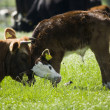 Cow with her calf — Stock Photo