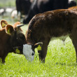 Cow with her calf - Foto Stock