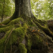 Tree with moss on roots in a green forest — Stock Photo #11286511