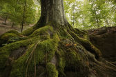 Tree with moss on roots in a green forest — Stock Photo
