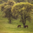 Spring landscape with two wild horses on meadow — Stockfoto