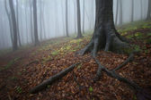 Roots of a tree in a misty forest in autumn — Stock Photo