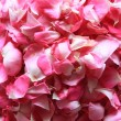 Tea rose petals — Stock Photo