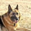 German shepherd — Stock Photo #10793091