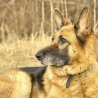 German shepherd — Stock Photo #10793178