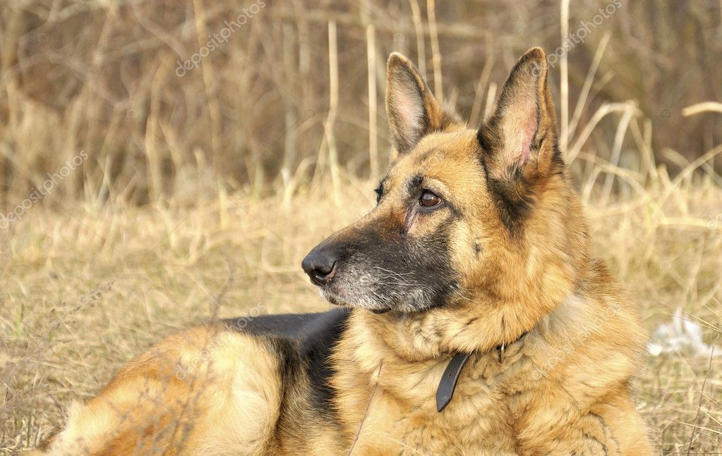 German shepherd on the dry grass — Stock Photo #10793073
