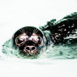 Cute seal — Stock Photo
