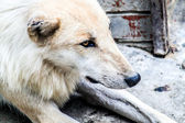 White wolf. — Stock Photo