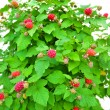 Raspberry bush on a white background, a lot of red raspberry fruit — Stock Photo