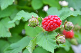 Raspberries bush background — Stock Photo