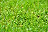 Green Grass. Background - Texture — Stock Photo