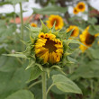 Sunflower blooming — Stock Photo
