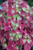 Hydrangea — Stock Photo