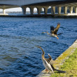 Birds on the Swan River - 图库照片