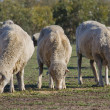 Merino Sheep Grazing — Stock Photo #10824816
