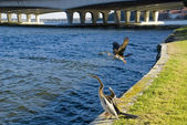 Birds on the Swan River — Stock Photo