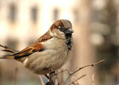 Male sparrow — Stock Photo