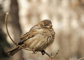 Female home sparrow — Stock Photo