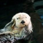 Постер, плакат: Sea otter