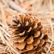 Stock Photo: Pine cone closeup