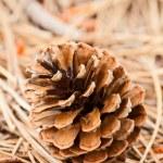 Pine cone closeup — Stock Photo