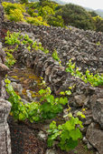 Vineyards of the island Pico — Stock Photo