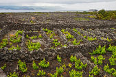 Vineyards of the Azores — Stock Photo
