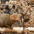 Southern dwarfish mongoose (Helogale parvula) — Stock Photo
